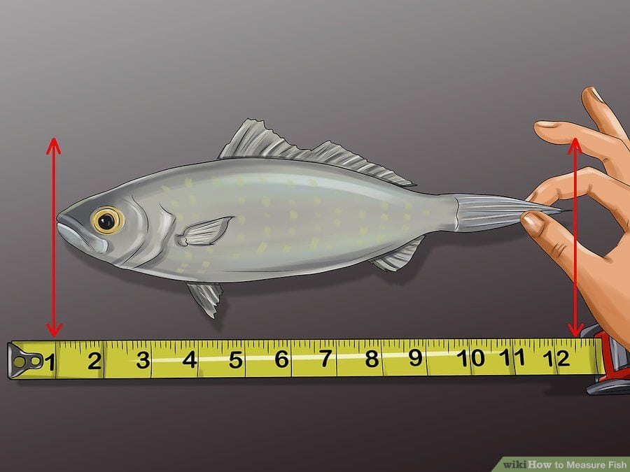 how to measure a fish's length