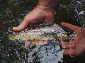 fly fishing landing brown trout