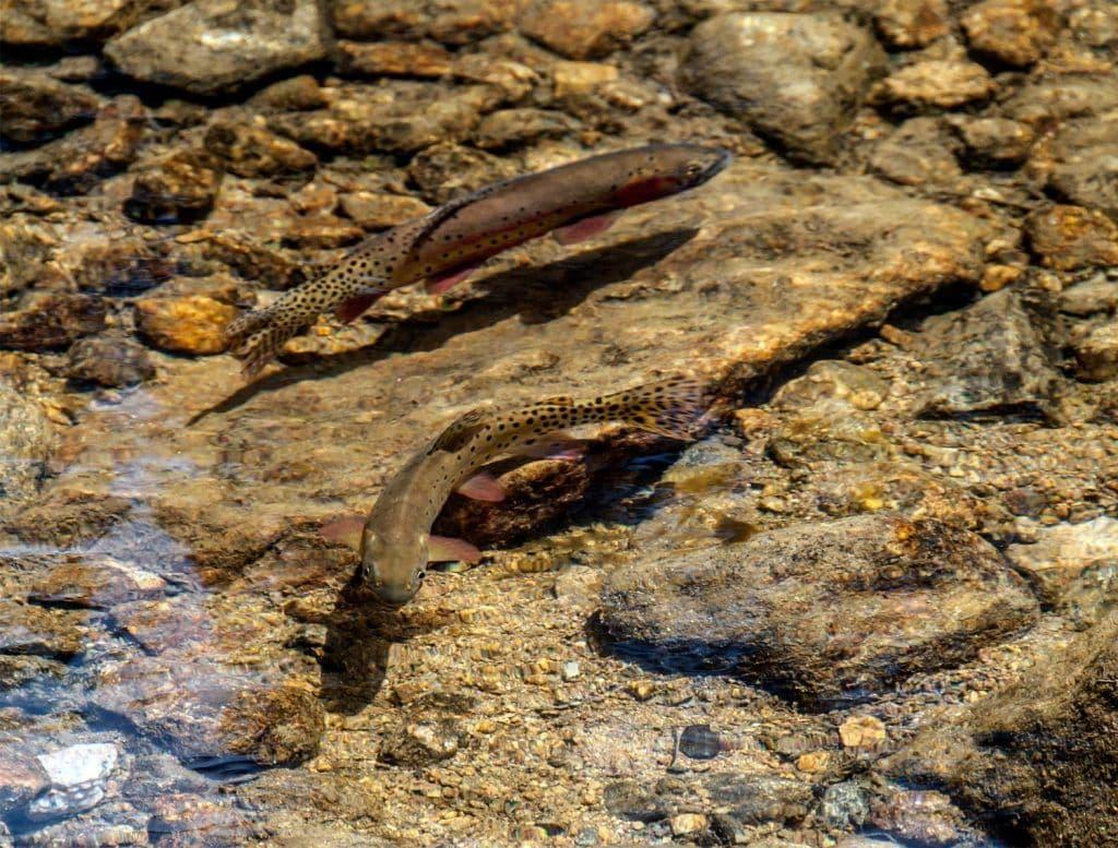 rainbow trout colorado