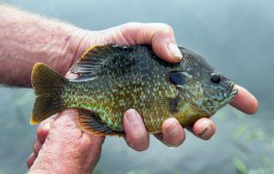 are bluegills dangerous