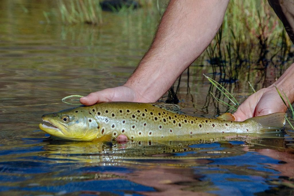 release brown trout fishing