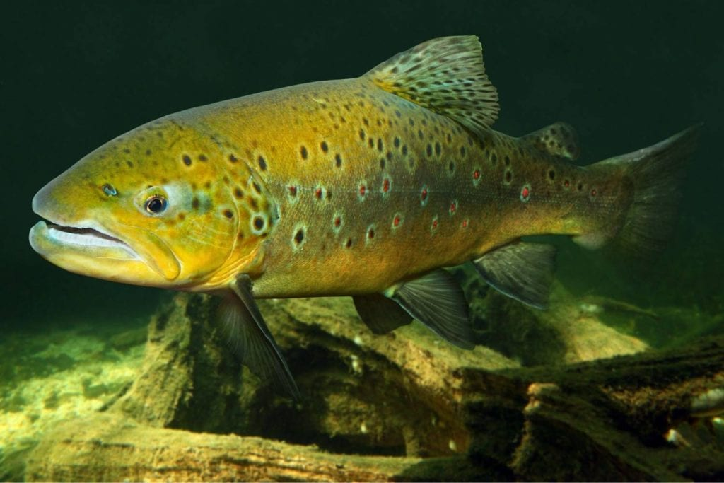 Trout Underwater Fishing Camera