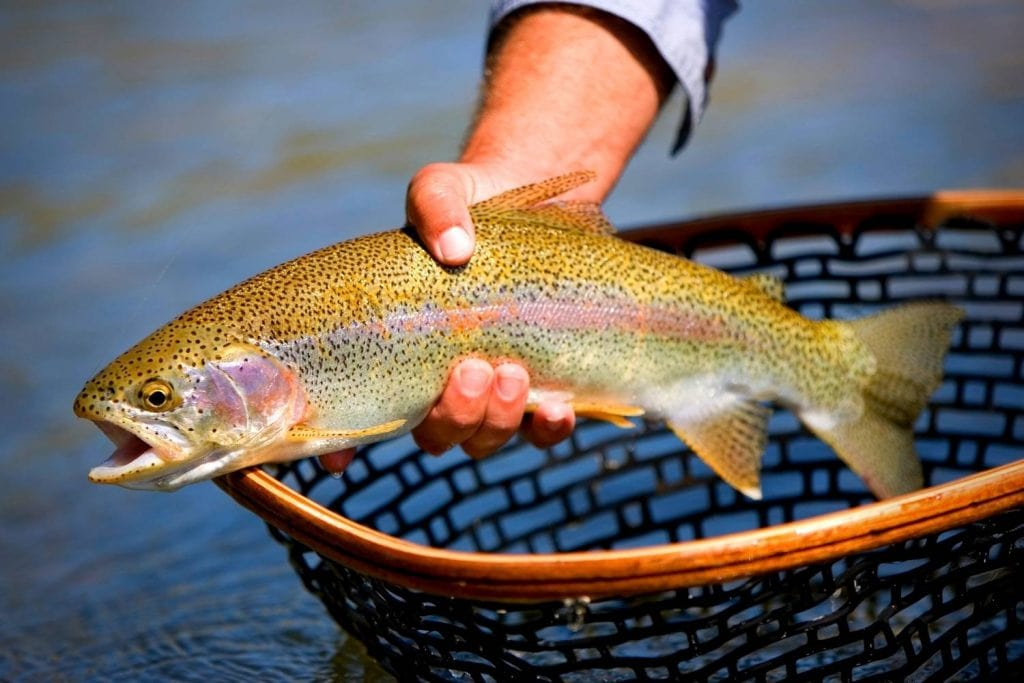 Hooking and Landing A Trout When Fly Fishing