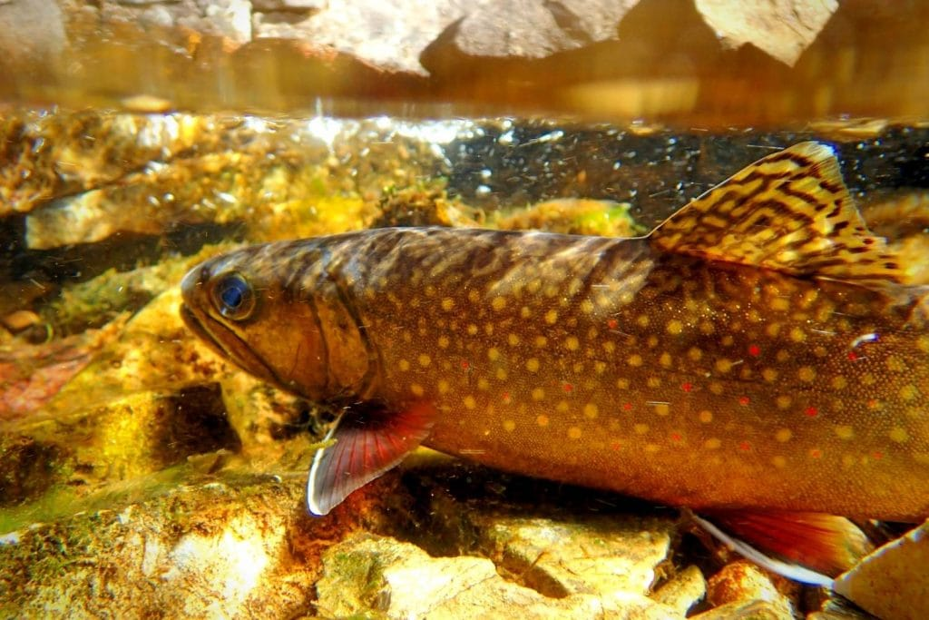 Where can I find a World Record Brook Trout