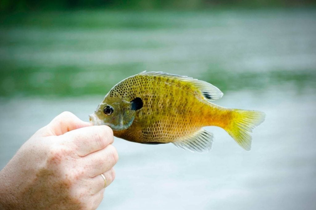 what is bluegill