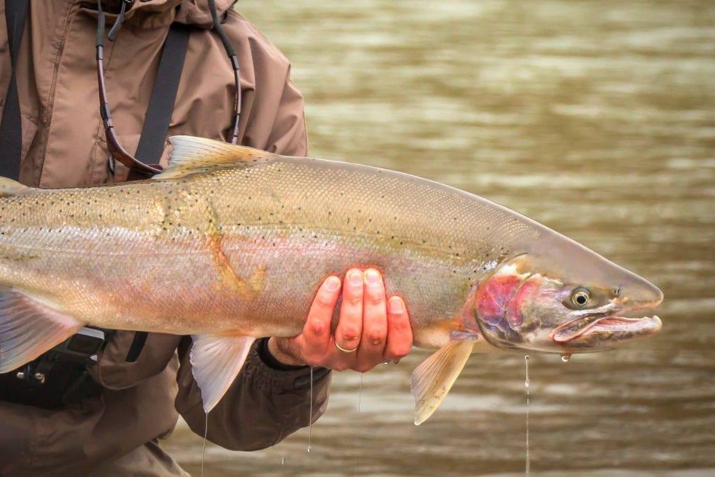 Rainbow Trout And Steelhead Life Cycle