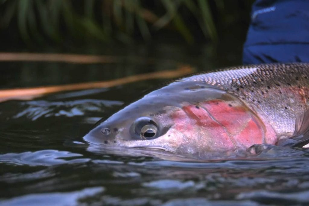 Why are they called steelhead