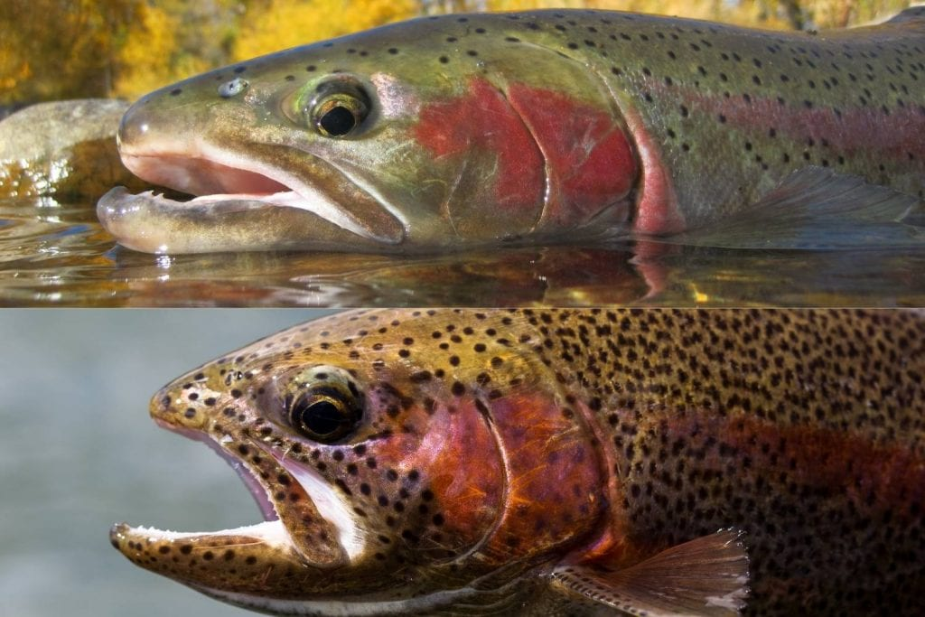 difference between a steelhead and a rainbow trout
