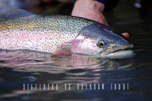 steelhead vs rainbow trout